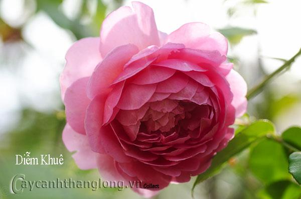 Cây Hoa hồng leo Diễm Khuê 189
