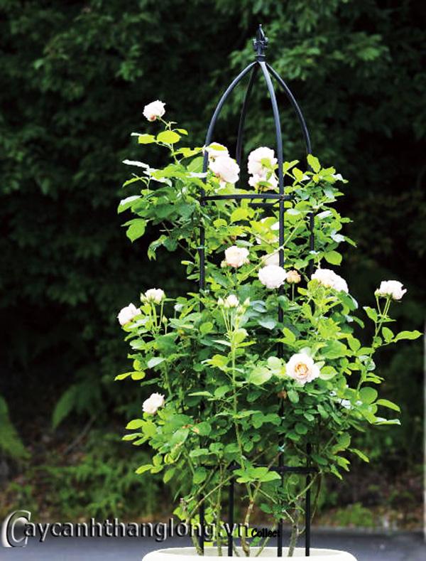 Giá sắt giàn hoa hồng 06