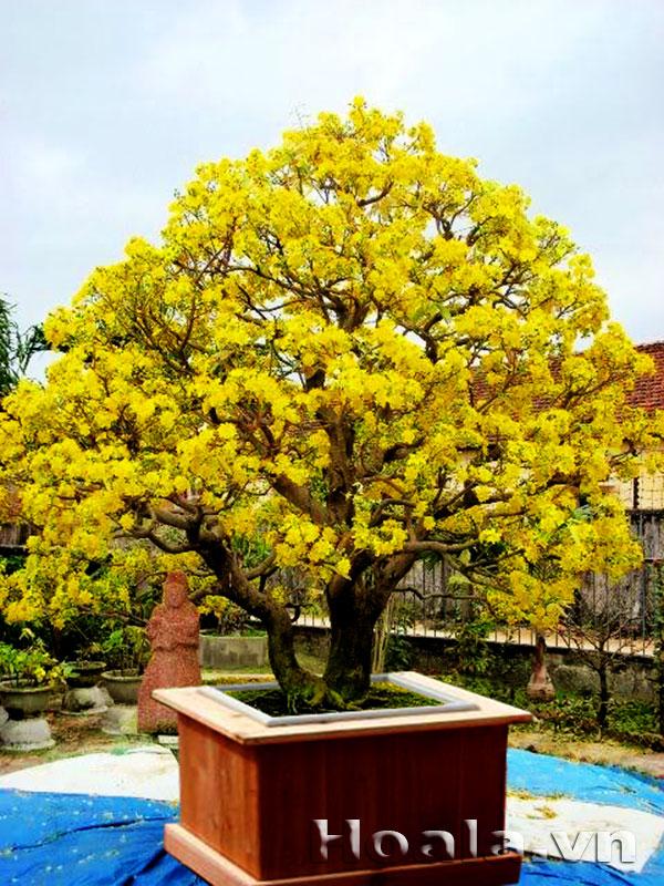 Chậu gỗ trồng hoa cây cảnh 78