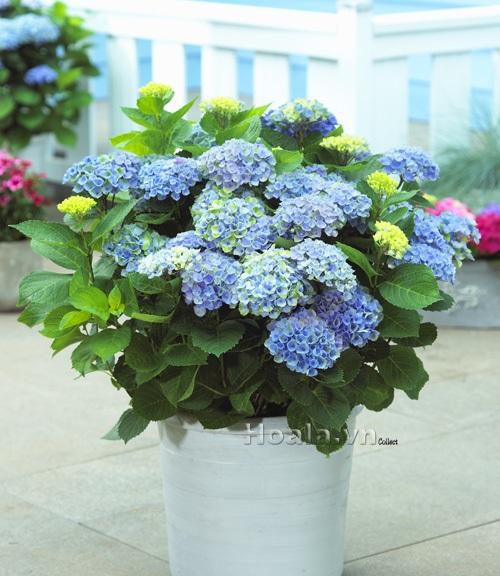 Kết quả hình ảnh cho hoa cẩm tú cầu