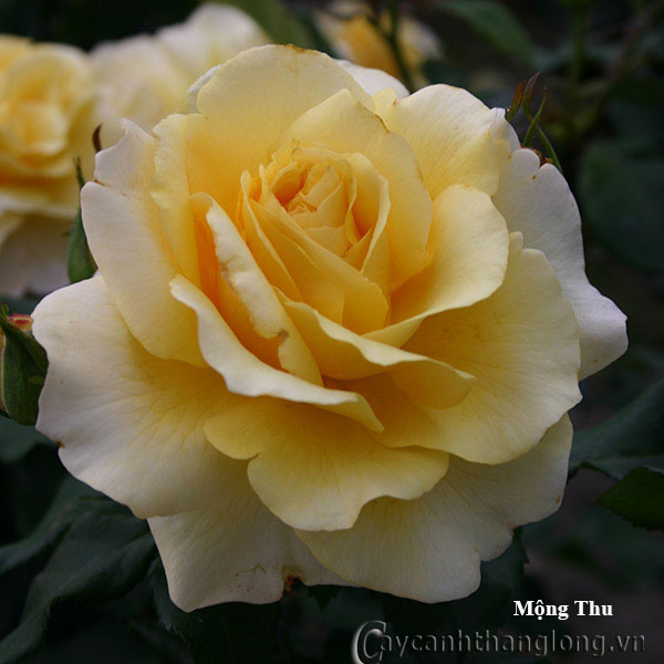 Cây hoa hồng leo Mộng Thu 225