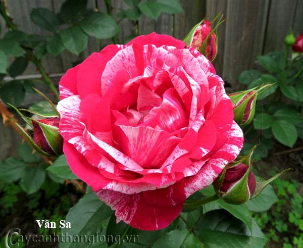 Hoa hồng leo nhập ngoại màu kẻ sọc độc đáo - Vân Sa 223