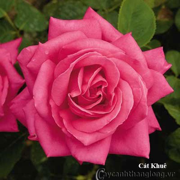 Cây hoa hồng leo Cát Khuê 227