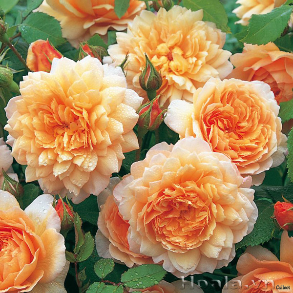 Cây hoa hồng leo Hoàng Kiều 193