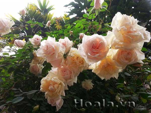 Cây hoa hồng đào