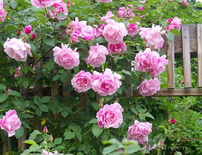 Hoa hồng leo Hồng Loan 222