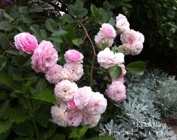 Hoa hồng leo Khánh Hồng 183