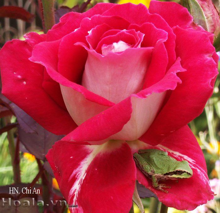 Hoa hồng Chi An 216