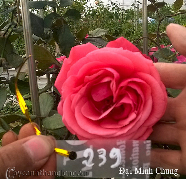 Hoa hồng Đại Minh Chung 239
