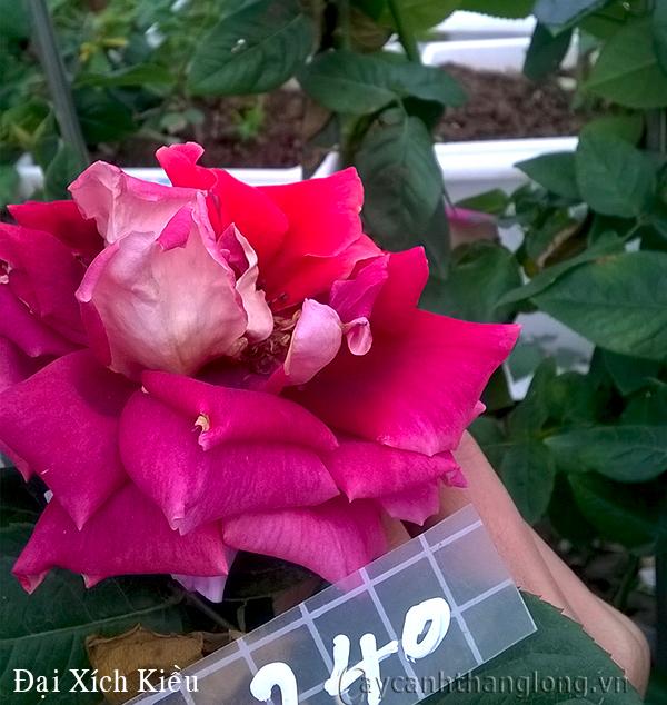 Hoa hồng Đại Xích Kiều 240
