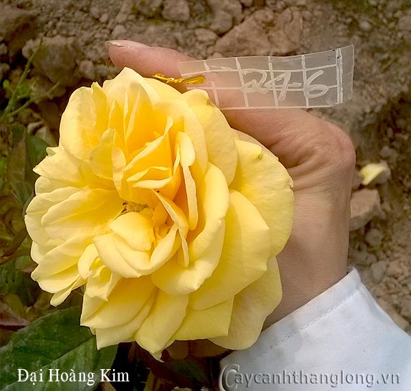 Hoa hồng Đại Hoàng Kim 246