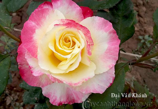 Hoa hồng Đại Vân Khánh 247