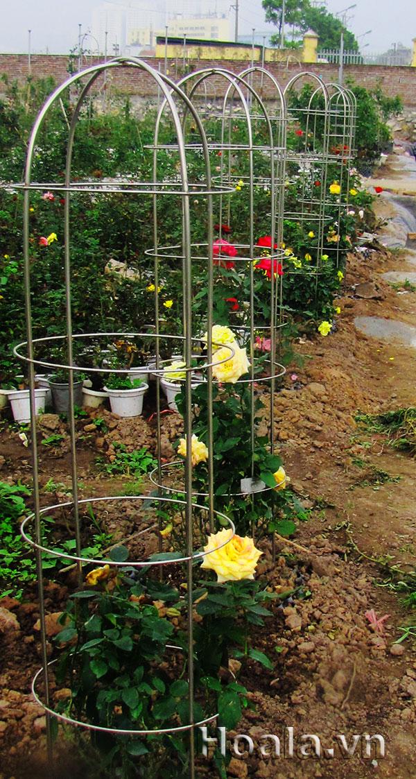 Khung giàn trồng hoa hồng leo