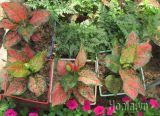 Cây ngọc ngân lá màu