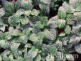 Cây lá màu bạc hà