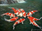 Cá Koi, Cá Chép Koi, Cá chép Nhật Bản