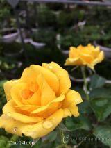 Cây hoa hồng leo Thu Nhiên 116