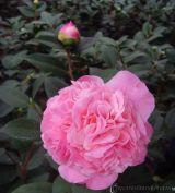 Hoa trà thơm Trinidad Camellia