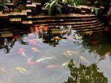 Hồ cá Koi 01