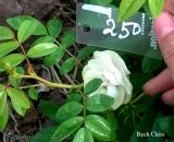 Hoa hồng Bạch Châu 250