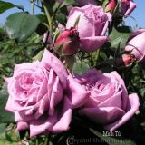 Hoa hồng Minh Tú 268