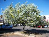 Cây hoa mimosa