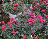 Hoa hồng Anh Khuê 234