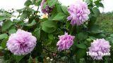 Hoa hồng Thiên Thanh 292