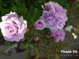 Hoa hồng Thanh Vũ 293