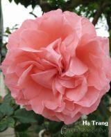 Hoa hồng Hạ Trang 279