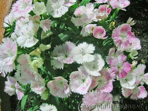 Hoa cẩm nhung   hoala.vn