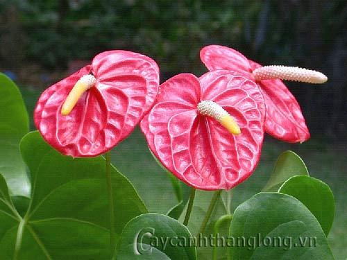 hoa lạ - Hoa Đại hồng môn trong sạch thanh cao | hoala.vn