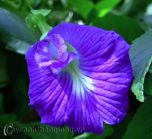 Hoa  đậu biếc | hoala.vn