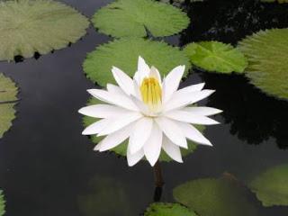Hoa Súng - cách trồng và công dụng chữa bệnh | hoala.vn