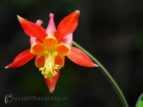 Hoa lạ - ho bồ  câu | hoala.vn