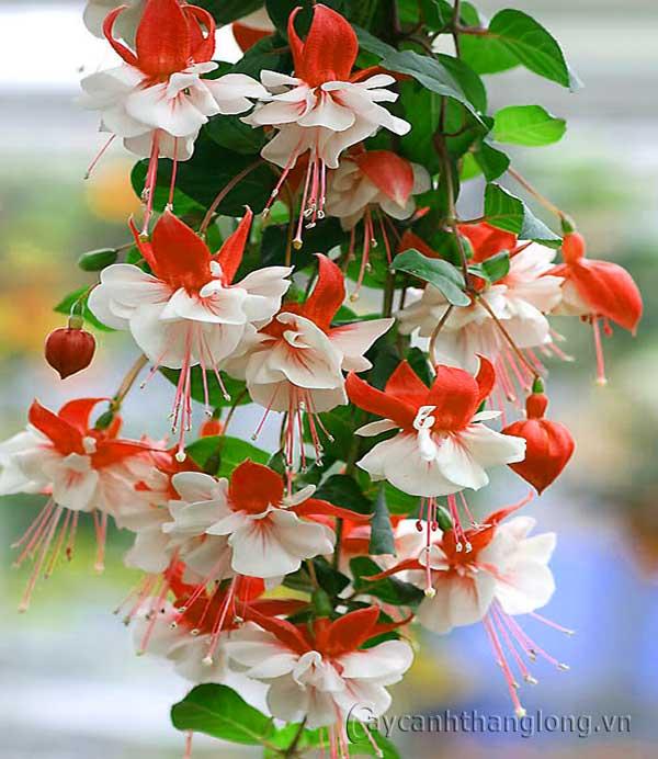 Hoa đèn lồng – loài hoa quý hiếm và độc đáo, thu hút mọi ánh nhìn bởi vẻ đẹp tinh tế và lãng mạn