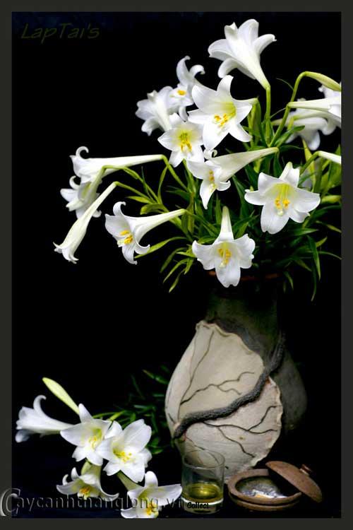 hoa lạ - hoa loa kèn | hoala.vn