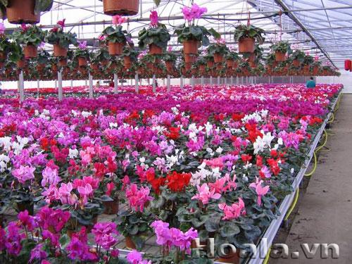 Hoa tết, hoa xuân, hoa trang trí 2014 tuyệt đẹp | hoala.vn