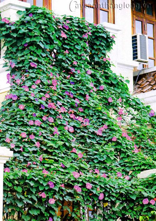 hoa leo mùa hè | hoala.vn