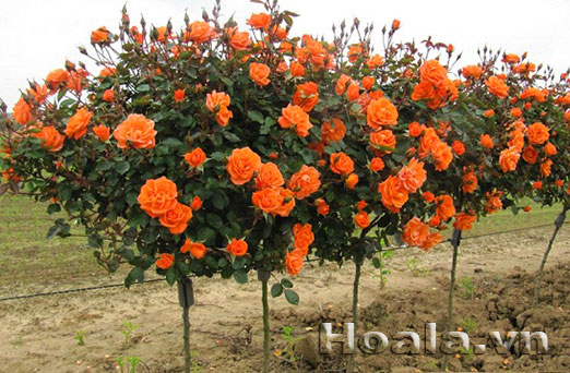 cay-hoa-hong-tree-rose