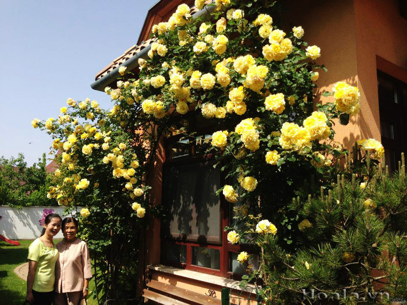 Hoa hong leo - hoa ban cong ruc ro cuon hut nhat