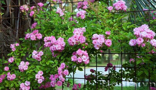 tree rose 6