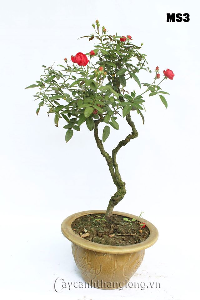 hoa hong bonsai 11