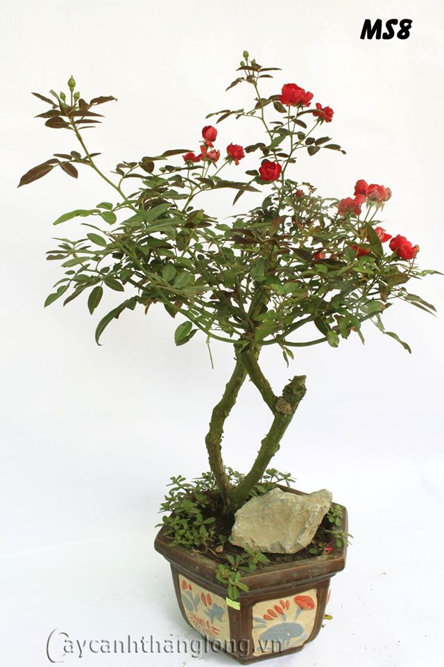 hoa hong bonsai 12