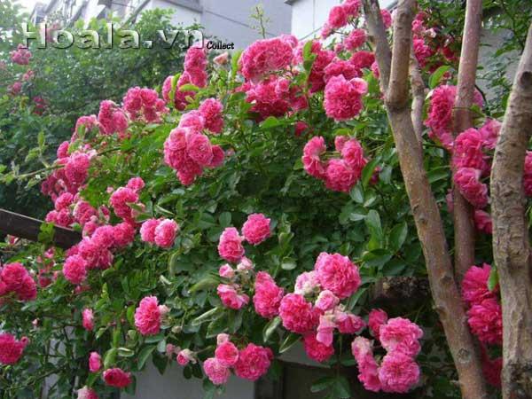 hoa hong ban cong - hoa hong mau hong