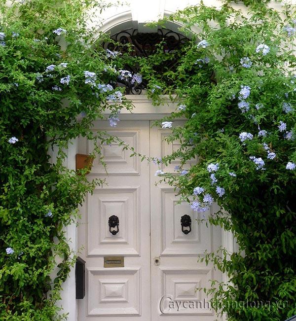Hoa Thanh xà sắc xanh dịu mát | hoala.vn