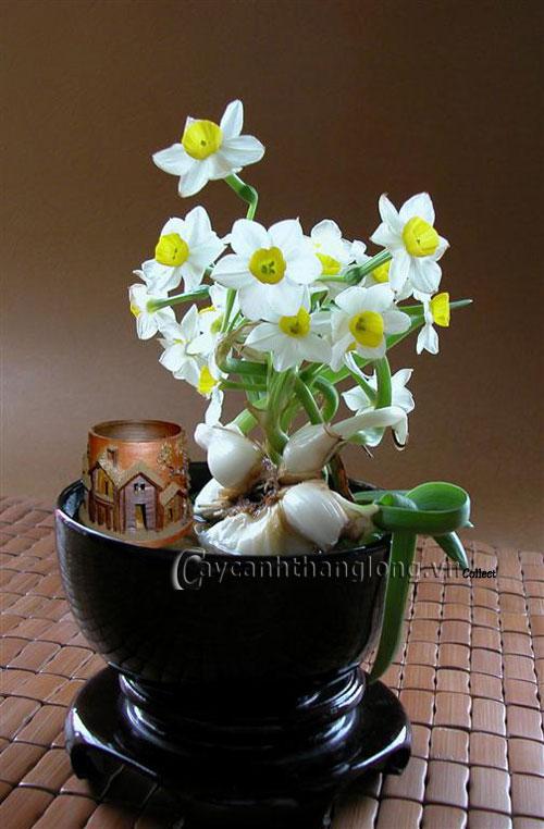 Cách chọn củ hoa, trồng và chăm sóc hoa Thủy tiên   hoala.vn