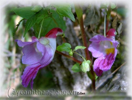 Hoa con vẹt hoa lạ quý hiếm có nguy cơ tuyệt chủng | hoala.vn