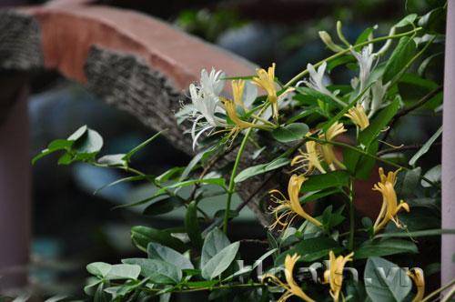 Hoa kim ngân hoa đẹp thuốc hay | hoala.vn