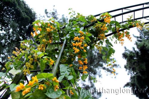 Lan hoàng dương thả bức rèm hoa tuyệt đẹp | hoala.vn